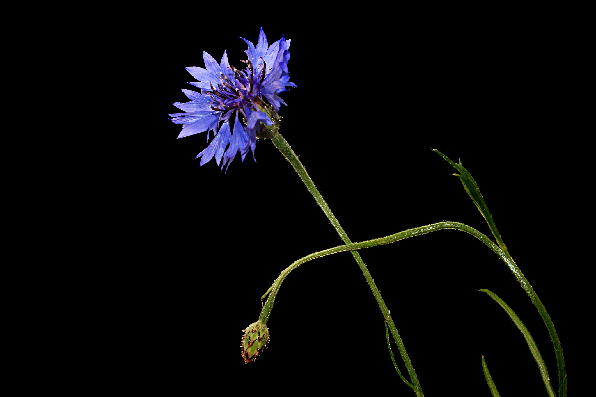 Photograph Cornflower by Vendenis   on 500px