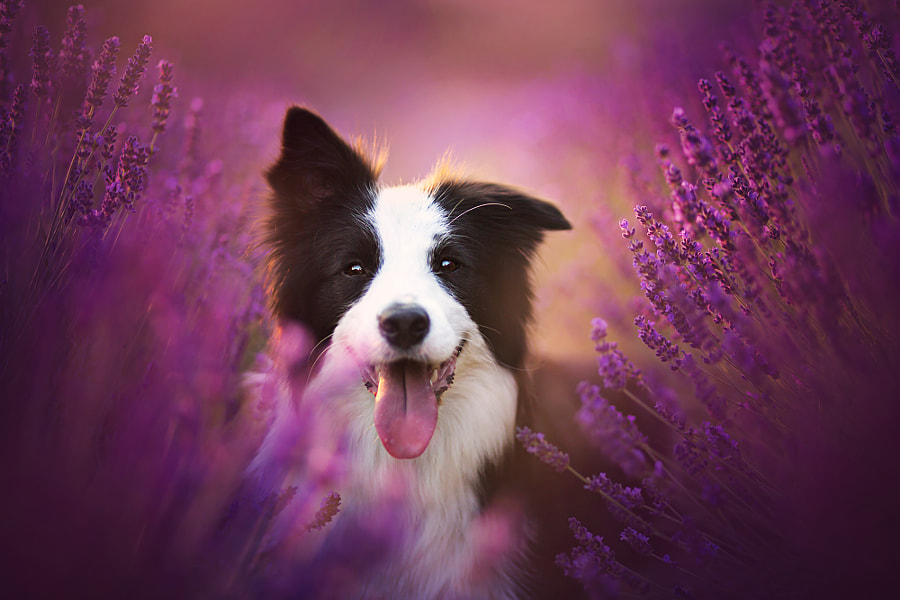 Lavender Season by Alicja Zmys?owska on 500px.com