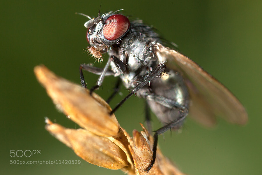Photograph Insect MP-E65 by Mikael Sundberg on 500px