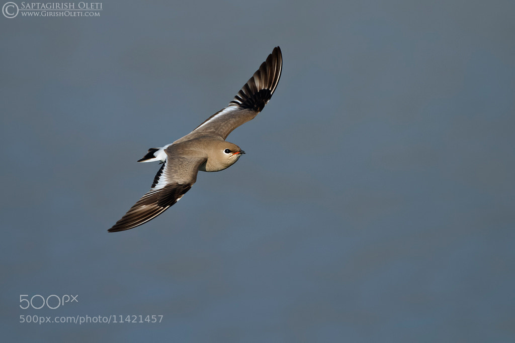 Photograph Small Pratincole by Saptagirish Oleti on 500px