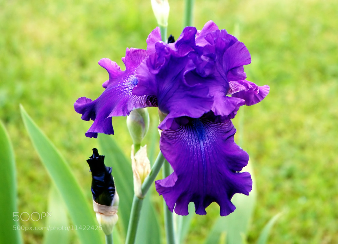 Photograph Iris Bleu/Violet by Delphine Melin Scholl on 500px