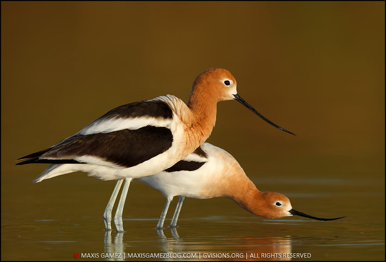 Photograph American Avocets Courship by Maxis Gamez on 500px