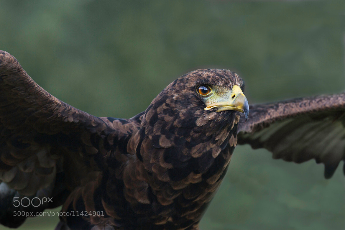 Photograph Young Eagle by Sue Demetriou on 500px