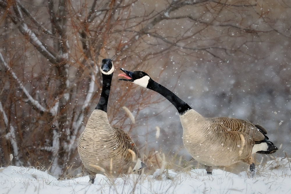 Photograph Yelling Geese by Steve Perry on 500px