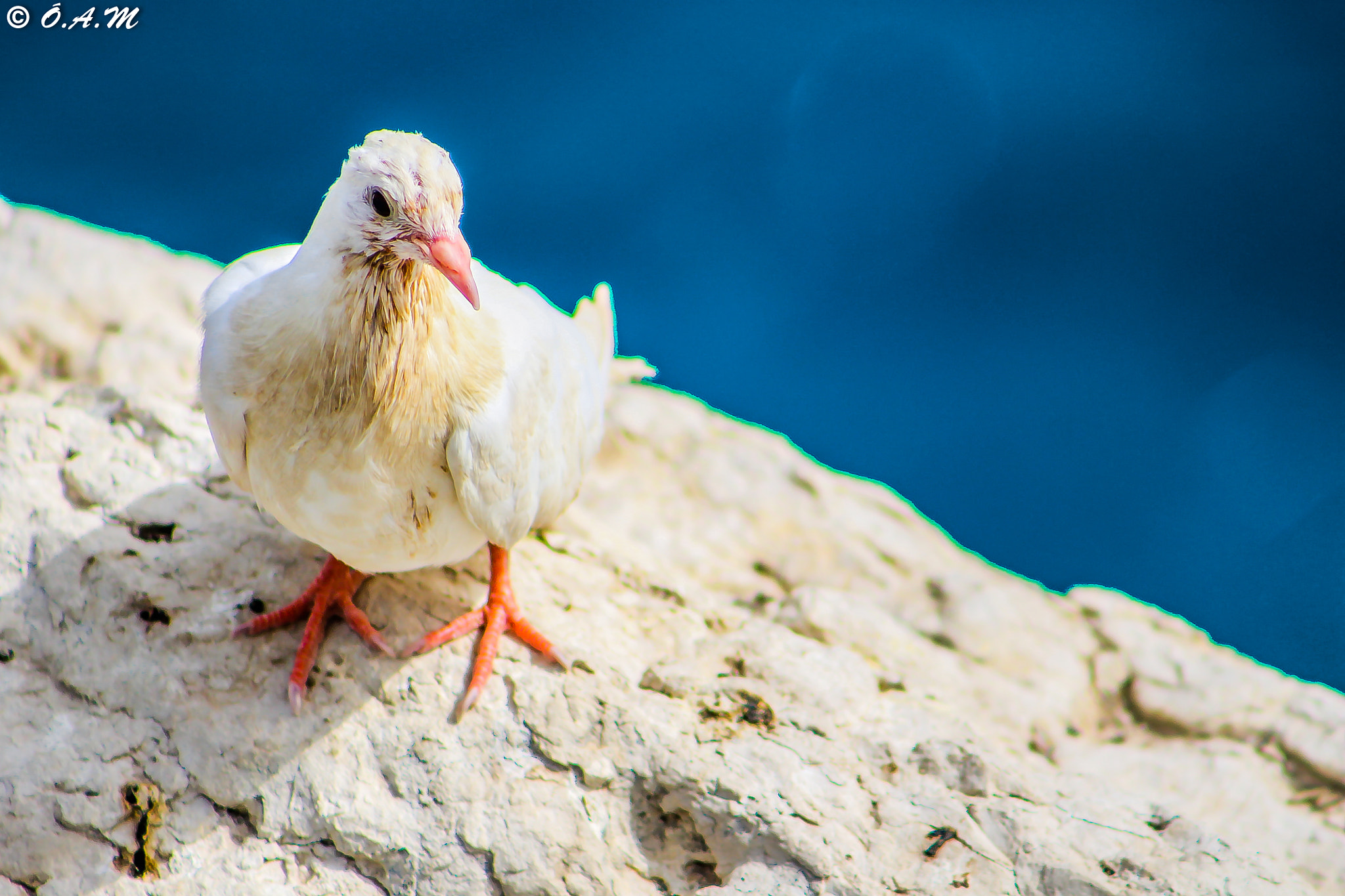 Photograph white Pigeon by Óli Magg on 500px