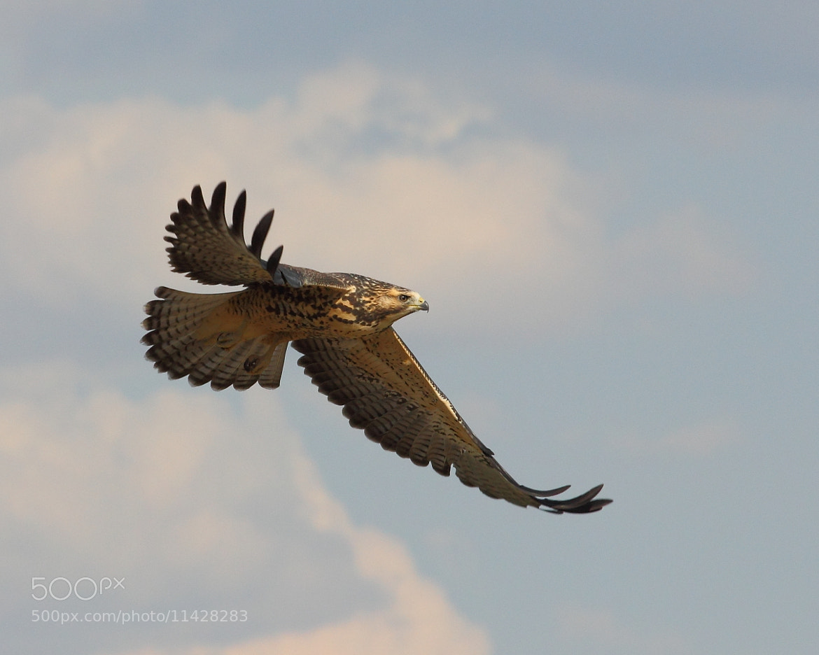 Photograph Juvenile Swainson's Hawk by Matt  Finch on 500px