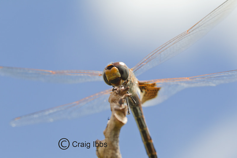 Photograph Dragonfly by Craig Ibbs on 500px