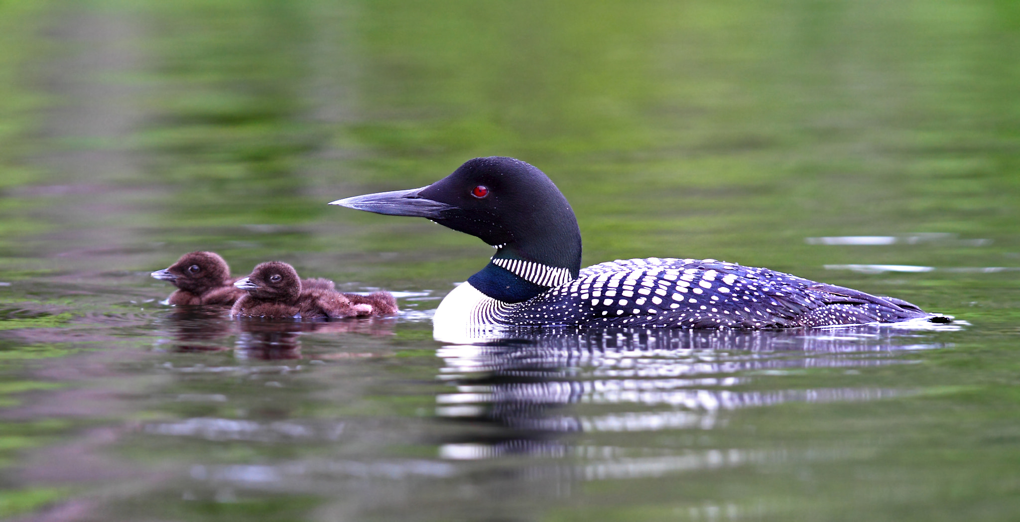 Photograph The Calm before the Storm - Common Loon by Jim Cumming on 500px