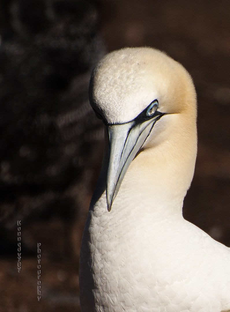 Photograph Portrait, Northern Gannet by Wendy Kennedy on 500px