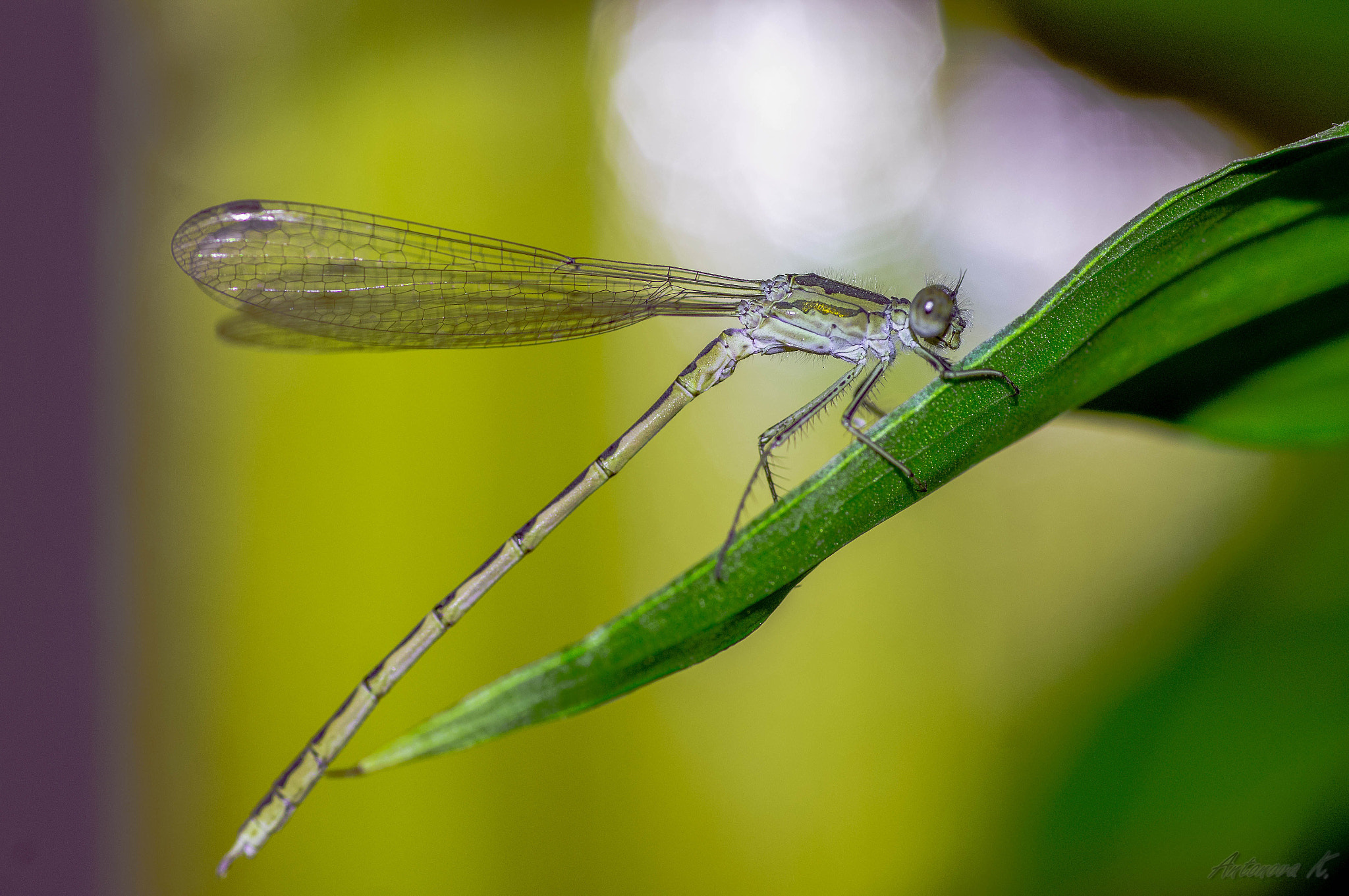 Photograph lemon dragonfly by damnlynx  on 500px