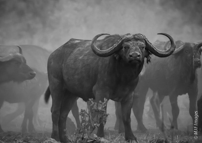 Photograph Cape Buffalo Stare by Michael Flaherty on 500px