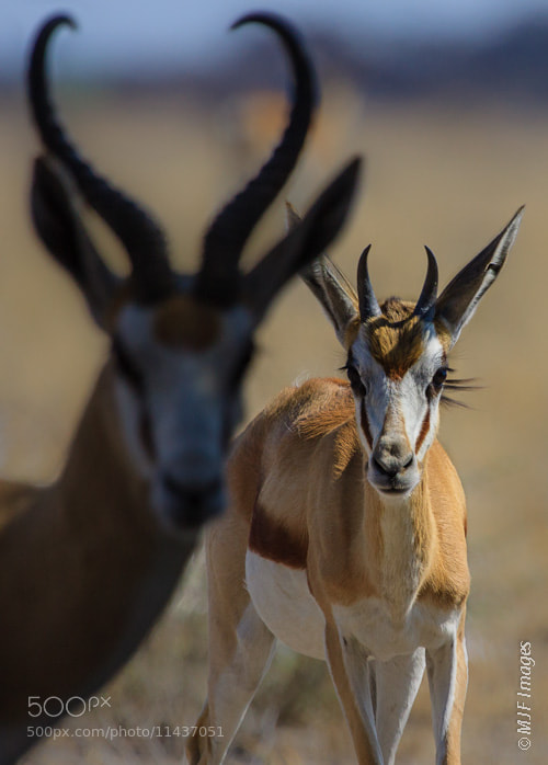 Photograph Springbok by Michael Flaherty on 500px
