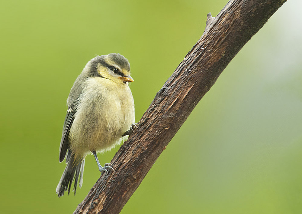 Photograph Young Blue Tit by Geoffrey Baker on 500px