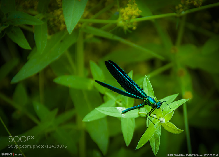 Photograph Beautiful Demoiselle by Emrah Oz on 500px