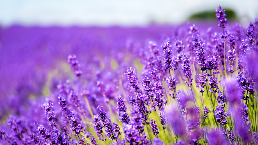 __Lavender in bloom__