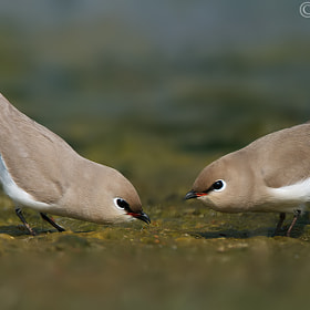 Small Pratincole Pair by Saptagirish Oleti (girisholeti)) on 500px.com