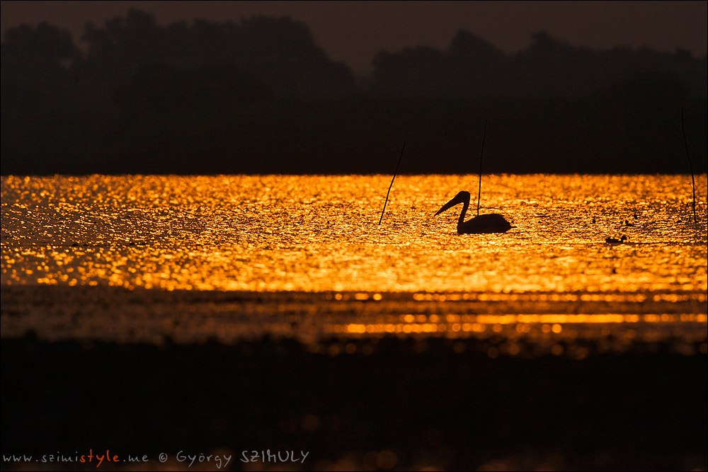 Photograph Great White Pelican (Pelecanus onocrotalus) by Gyorgy Szimuly on 500px