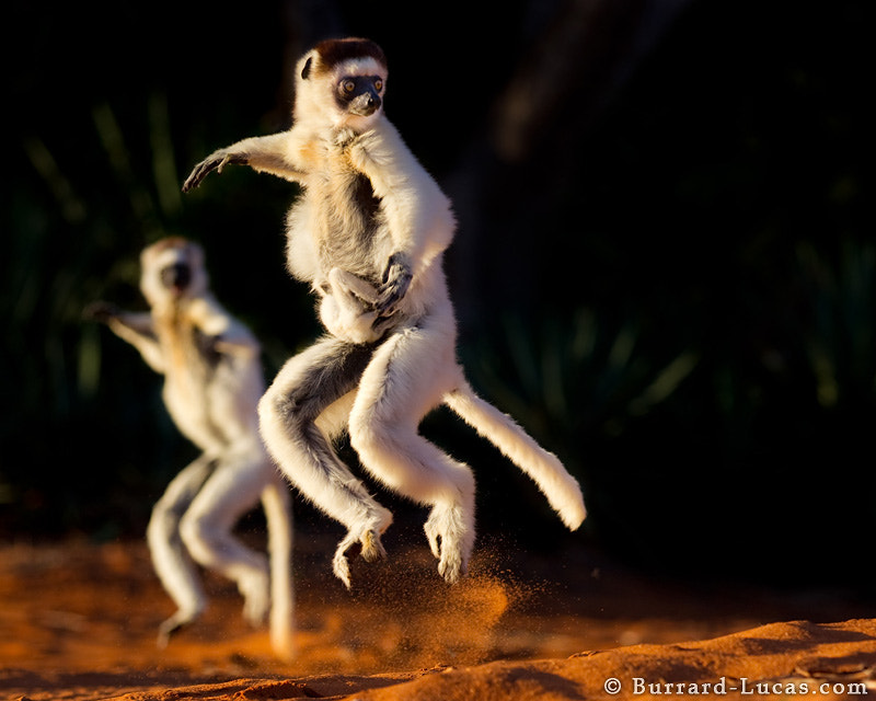 "Here's another shot from Madagascar - Verreaux's Sifakas skipping across open ground with their arms held high for balance. Notice the tiny baby clinging on to its mother for dear life! This must have been the inspiration for the dancing lemurs in the animated movie ""Madagascar"".