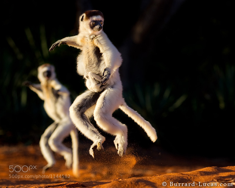 """Here's another shot from Madagascar - Verreaux's Sifakas skipping across open ground with their arms held high for balance. Notice the tiny baby clinging on to its mother for dear life! This must have been the inspiration for the dancing lemurs in the animated movie """"Madagascar"""".  - More <a href=""""http://www.burrard-lucas.com/madagascar/"""">Madagascar photos</a>"""
