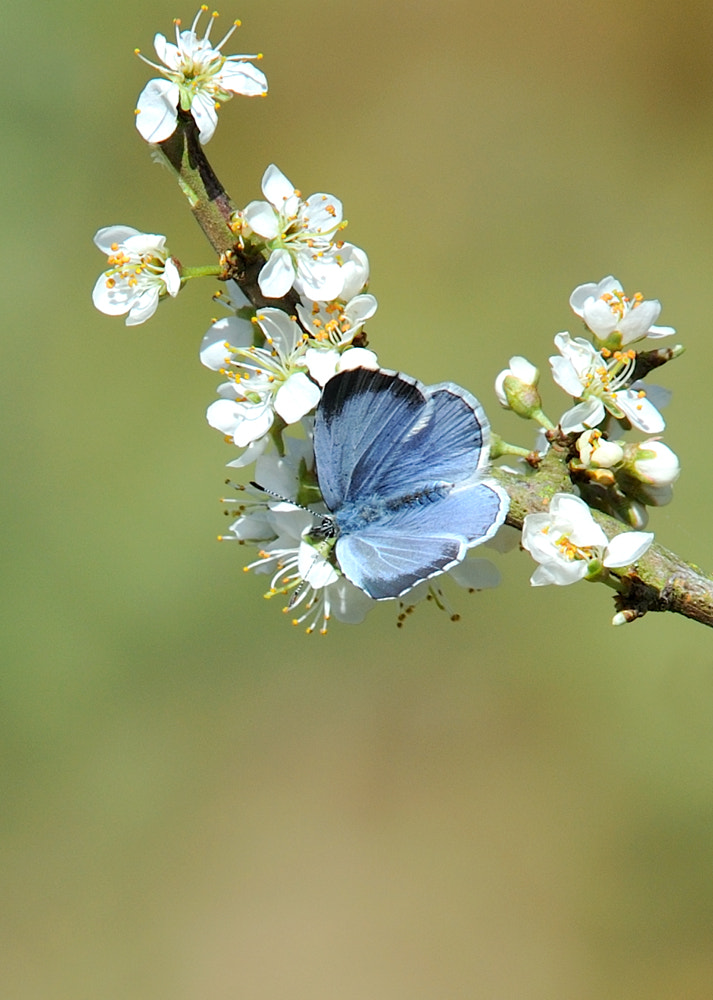 Photograph Holly Blue ( Celastrina argiolus ) by Kevin  Keatley on 500px