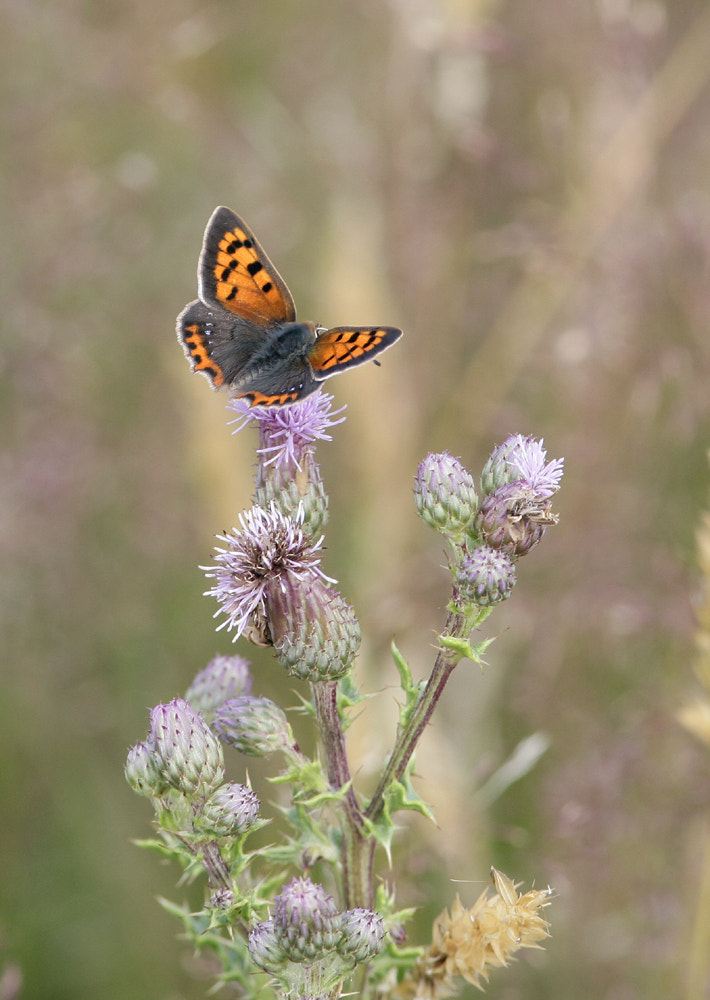 Photograph small copper  by Kevin  Keatley on 500px