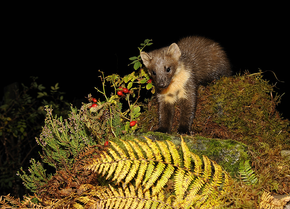 Photograph Pine marten ( Martes martes )  by Kevin  Keatley on 500px
