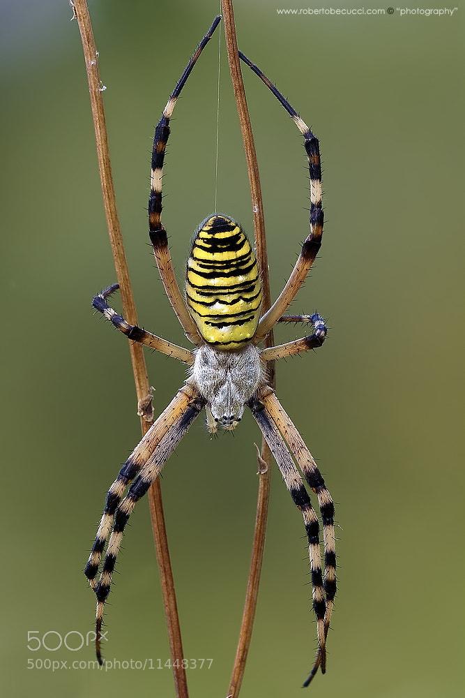 Photograph Argiope Bruennichi (Wasp Spider) by Roberto Becucci on 500px