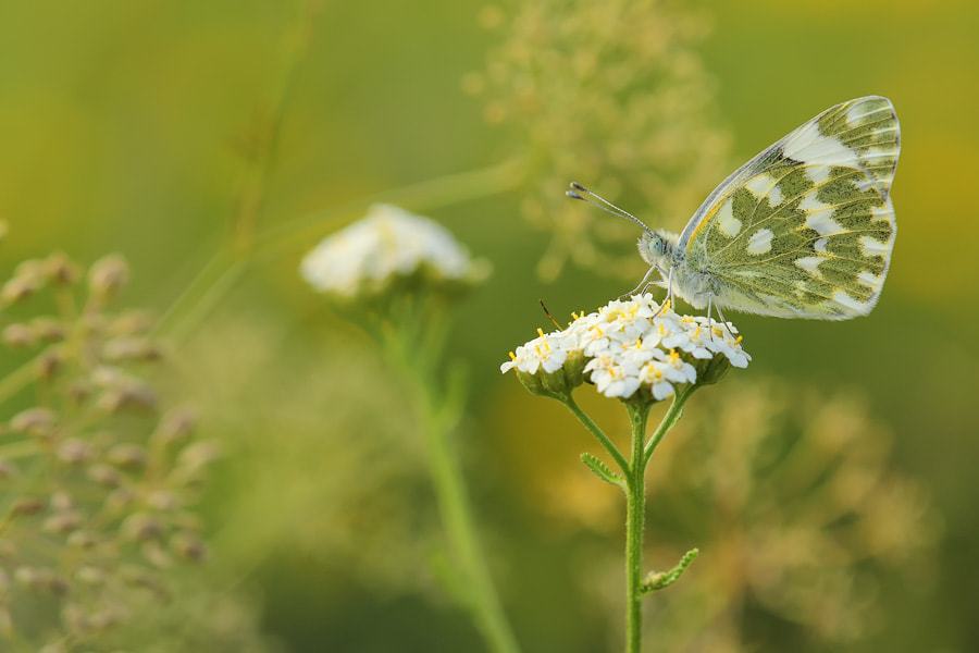 Photograph butterfly green in green by Manfred Huszar on 500px