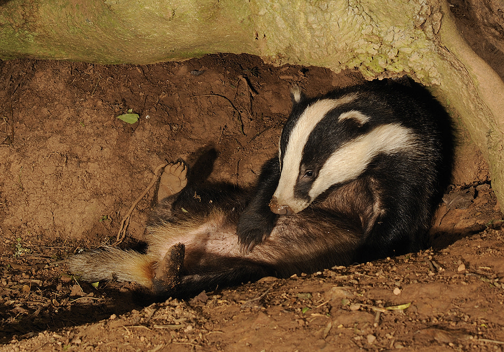 Photograph Badger grooming ( meles meles ) by Kevin  Keatley on 500px