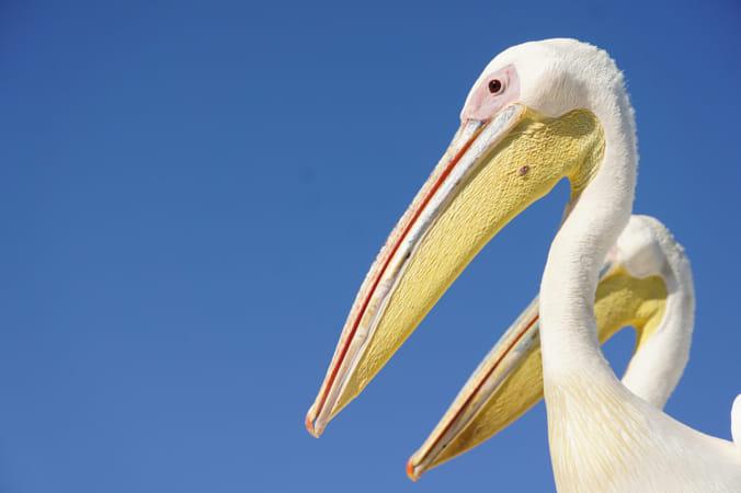 pelicans in 2