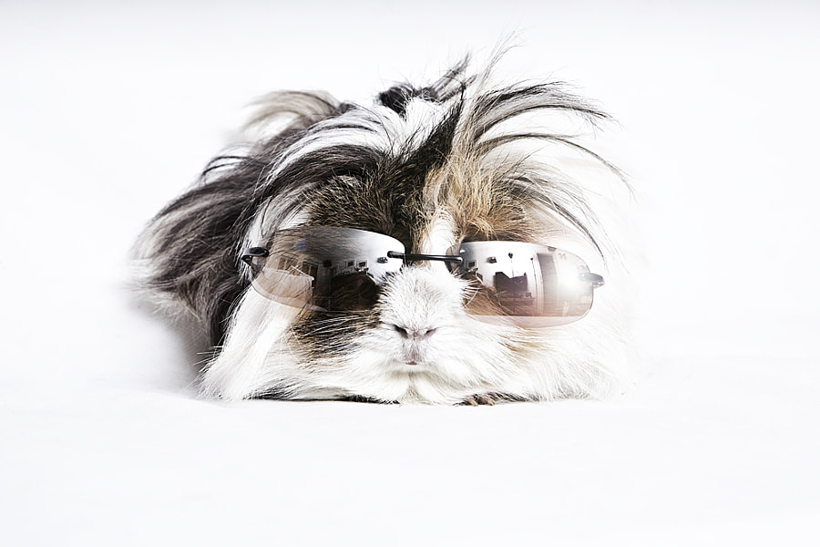 Guinea pig by Rie Adelsten on 500px.com