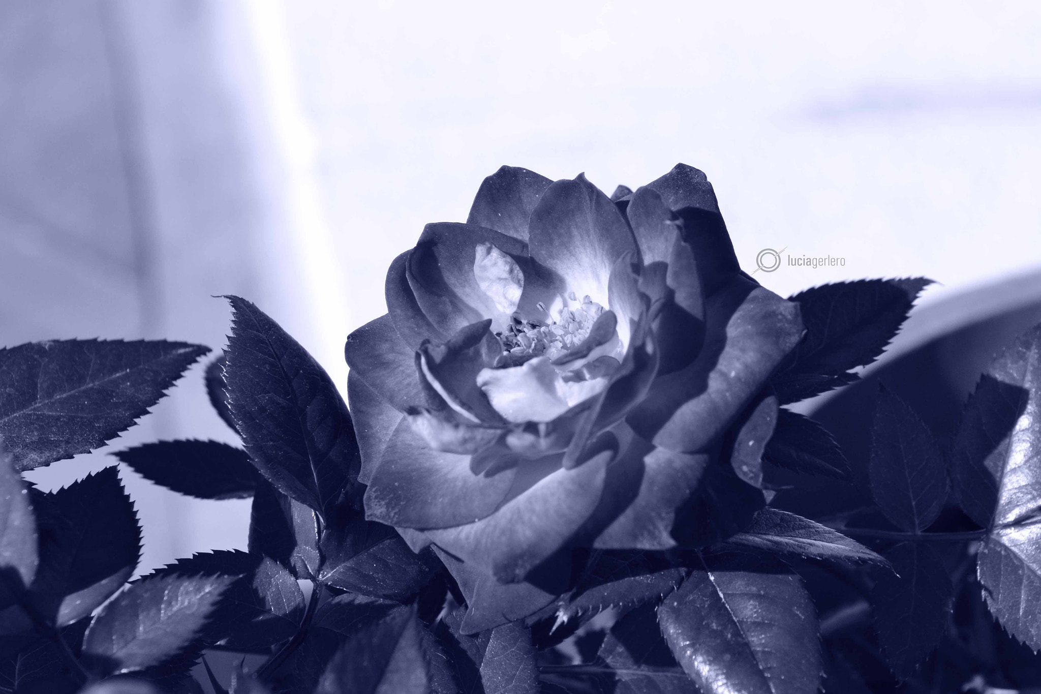 Photograph Rosa en blanco y negro by Lucia Gerlero on 500px