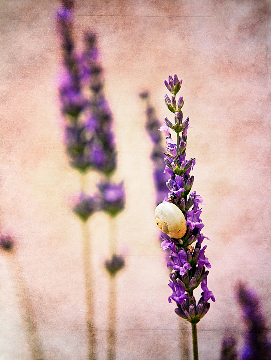 Photograph Lavender by Larissa Beniaminova on 500px