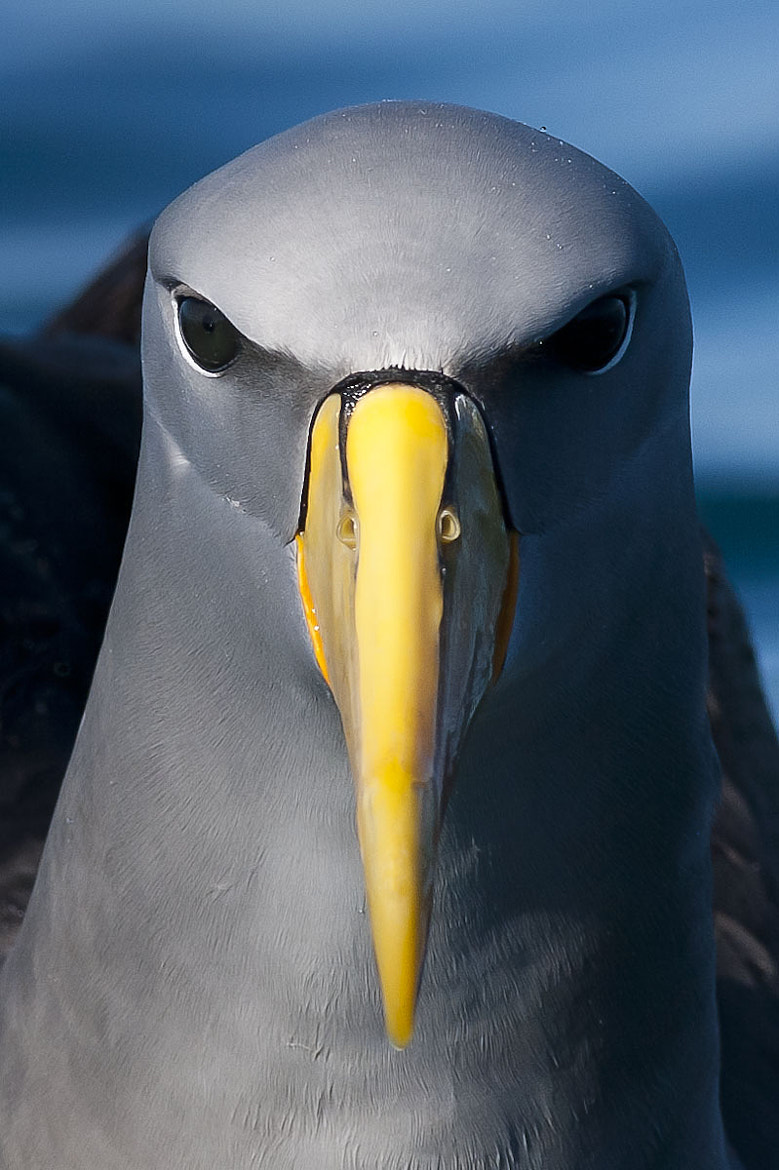 Photograph Chatham Island Albatross by Craig Nash on 500px