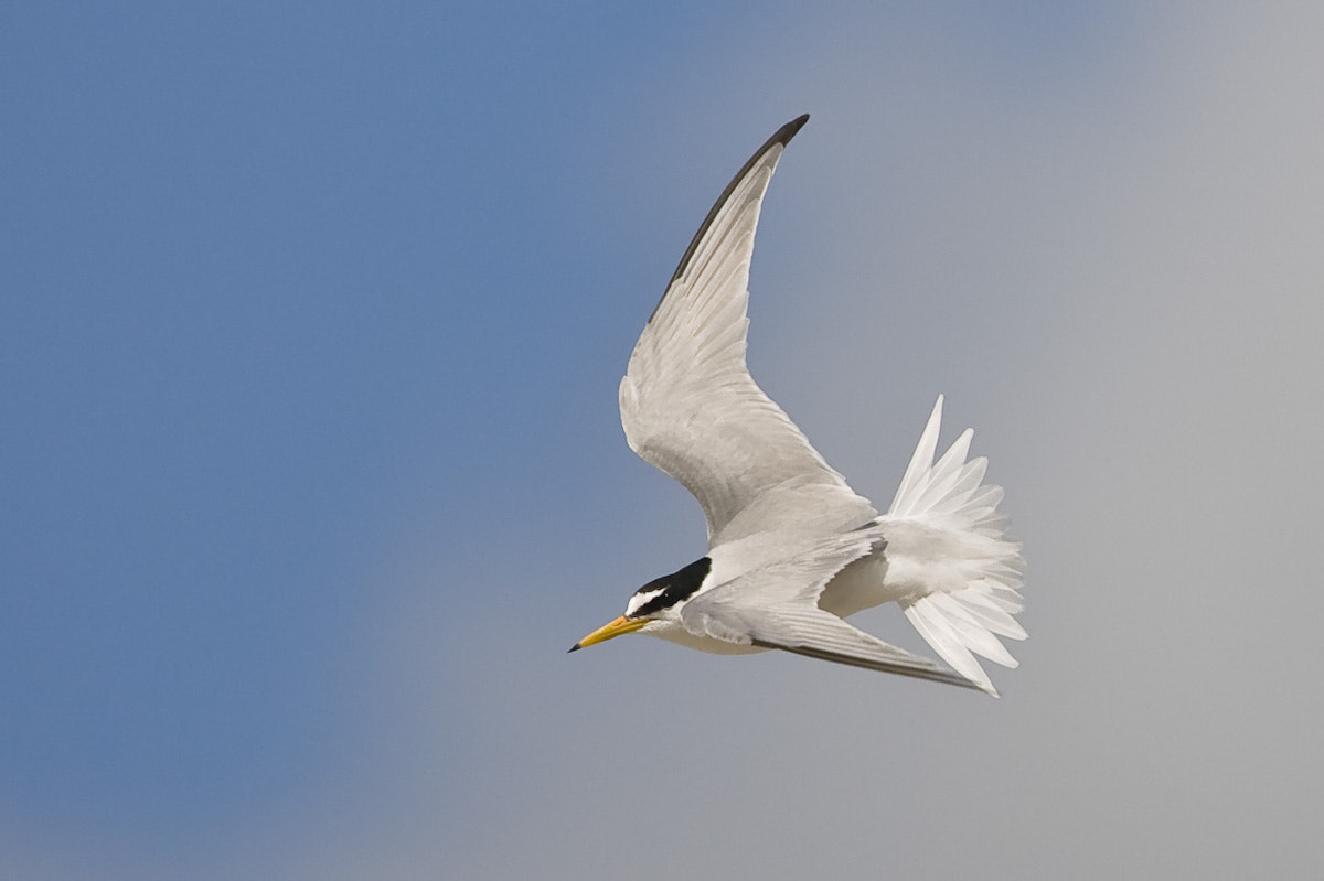 Photograph Little Tern by Craig Nash on 500px