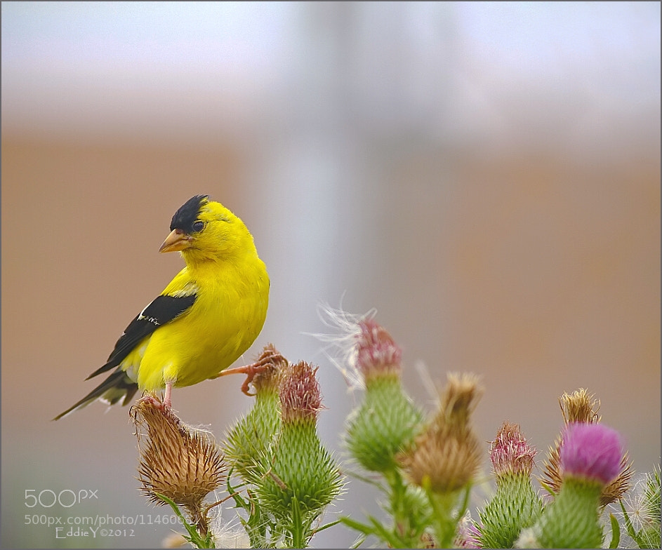 Photograph American Goldfinch by Eddie Yu on 500px