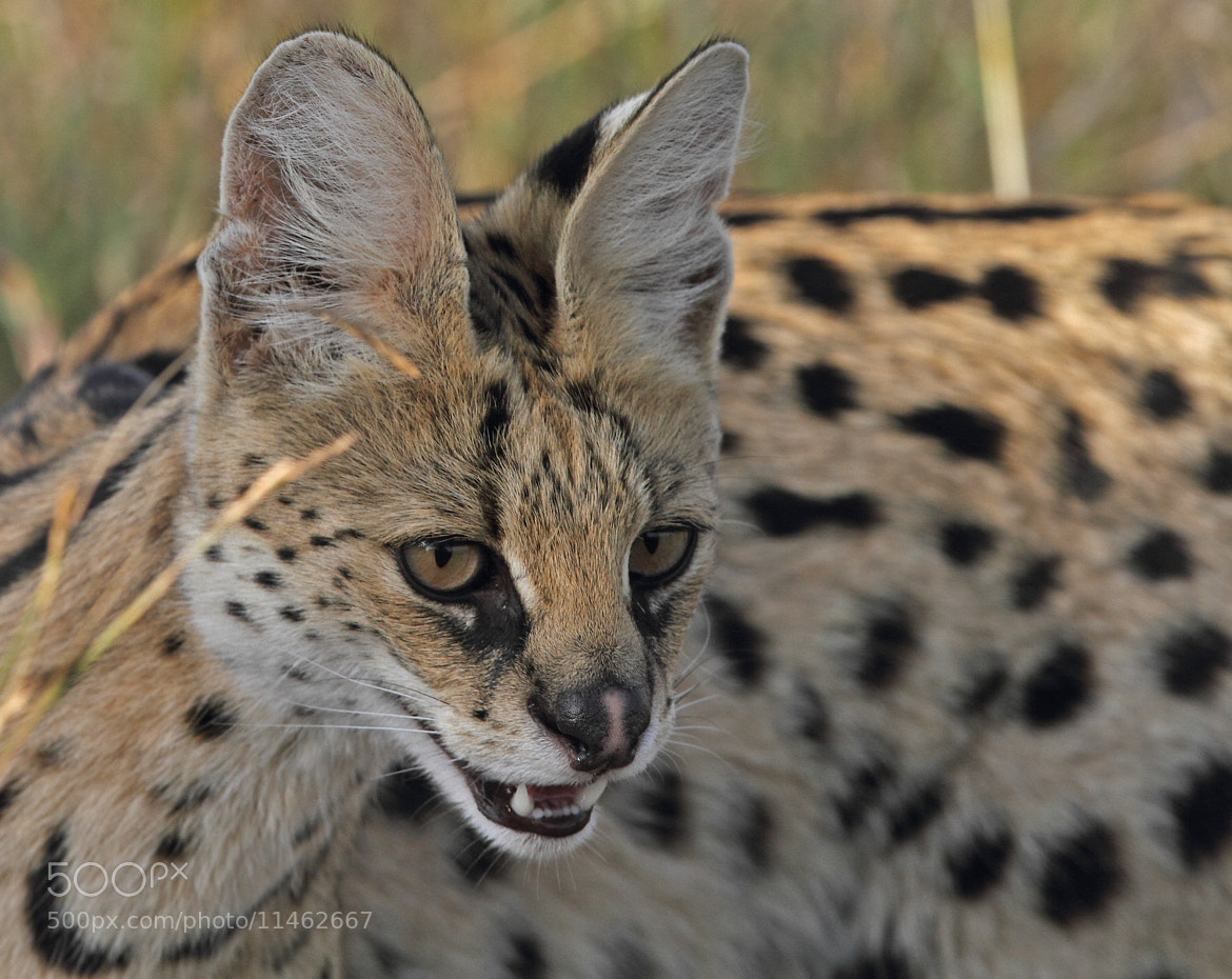Photograph Serval cat # Portrait # Masai Mara by Udai Shringi on 500px