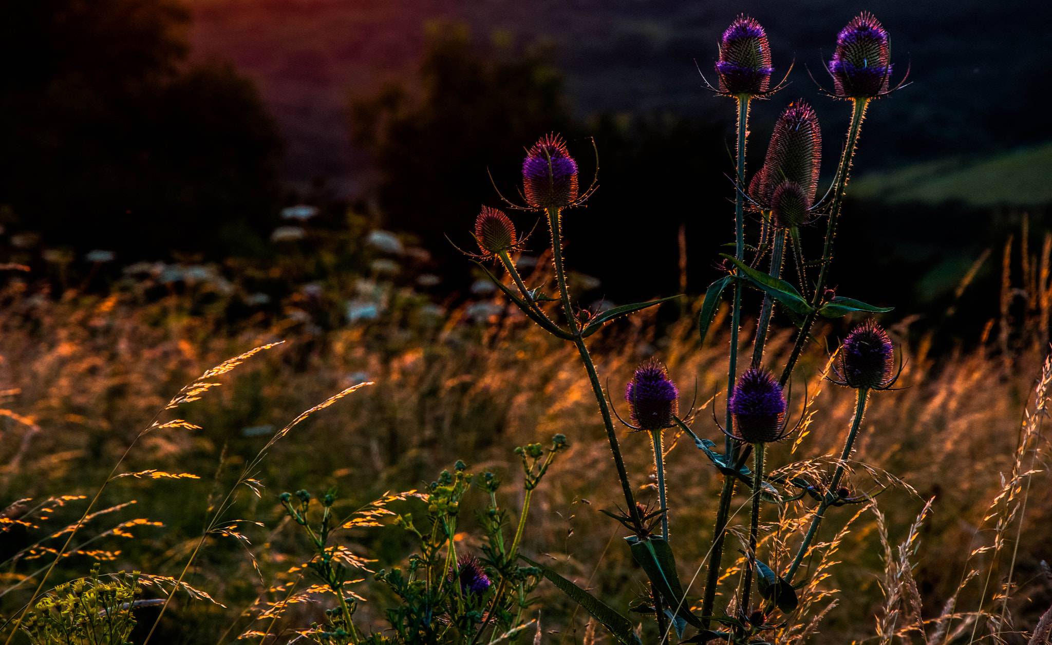 Photograph Teasels at Dusk by julian john on 500px