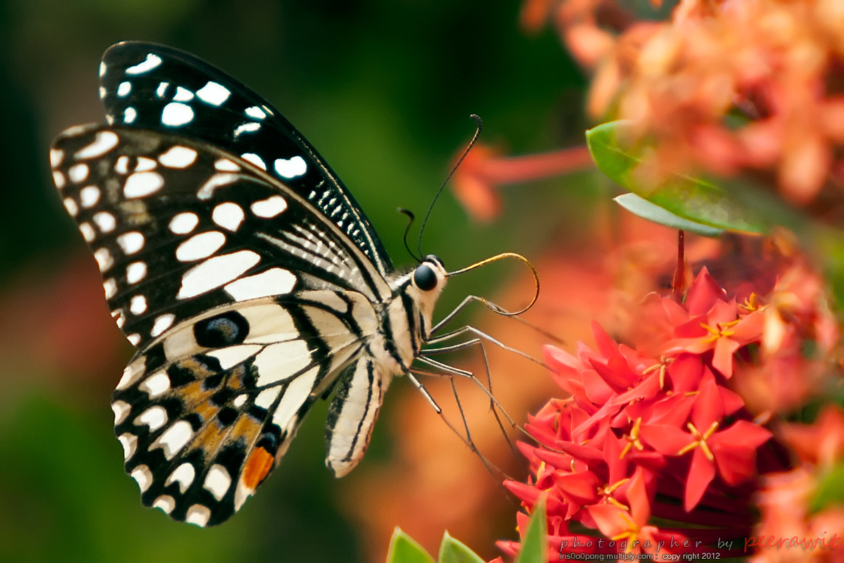 Photograph Snap butterfly by iris pong on 500px