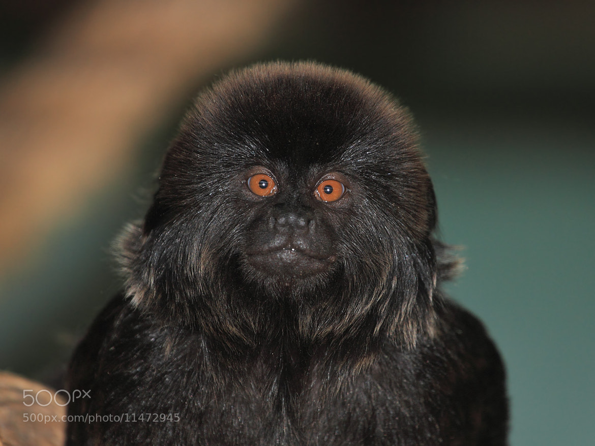 Photograph Black Tamarin by Yuri Gomelsky on 500px