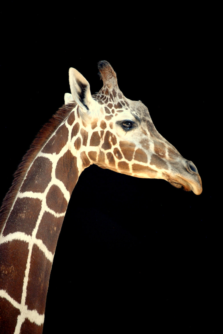 Photograph giraffe by Nate A on 500px