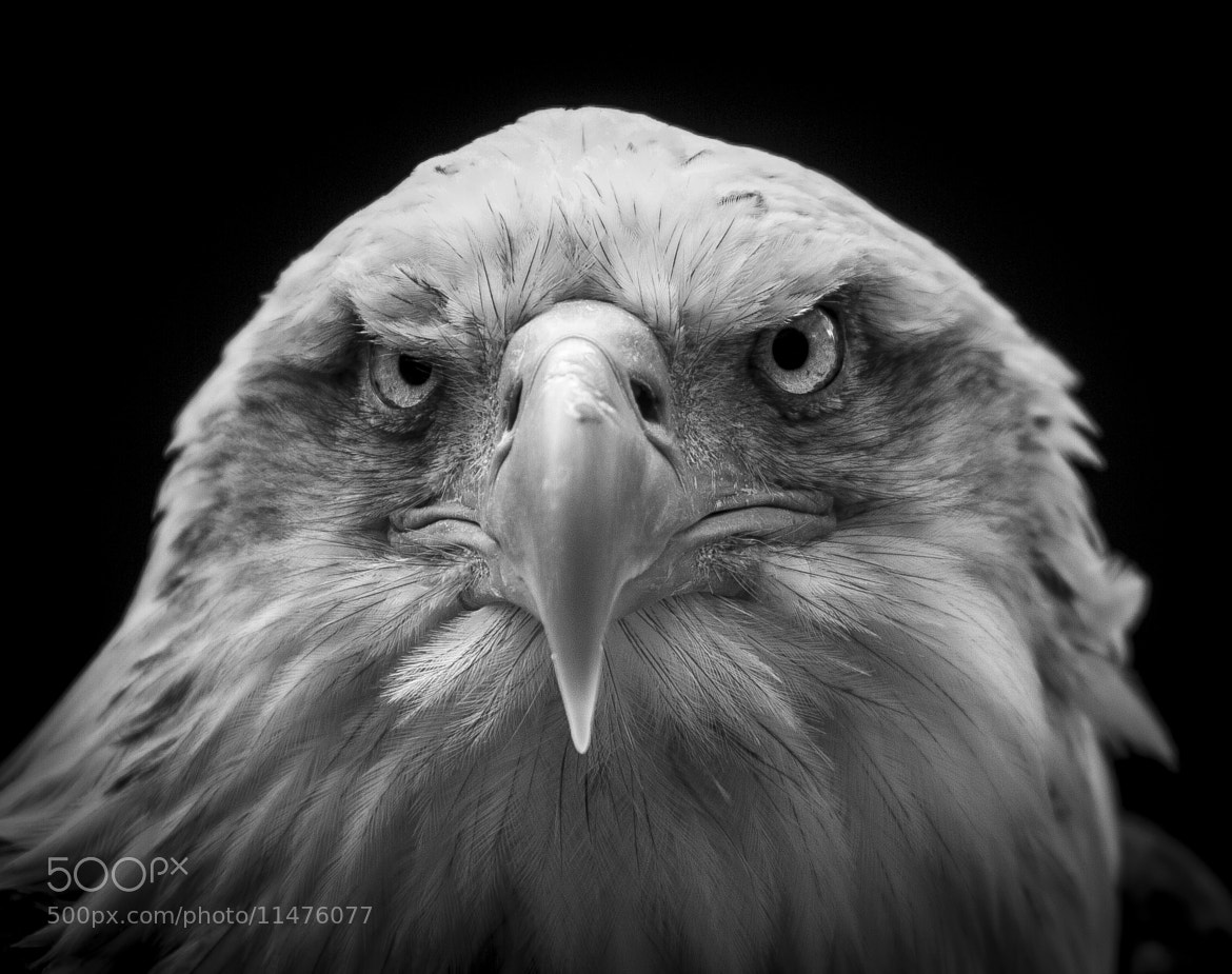 Photograph Eagle 2 by Mark  Dargan on 500px