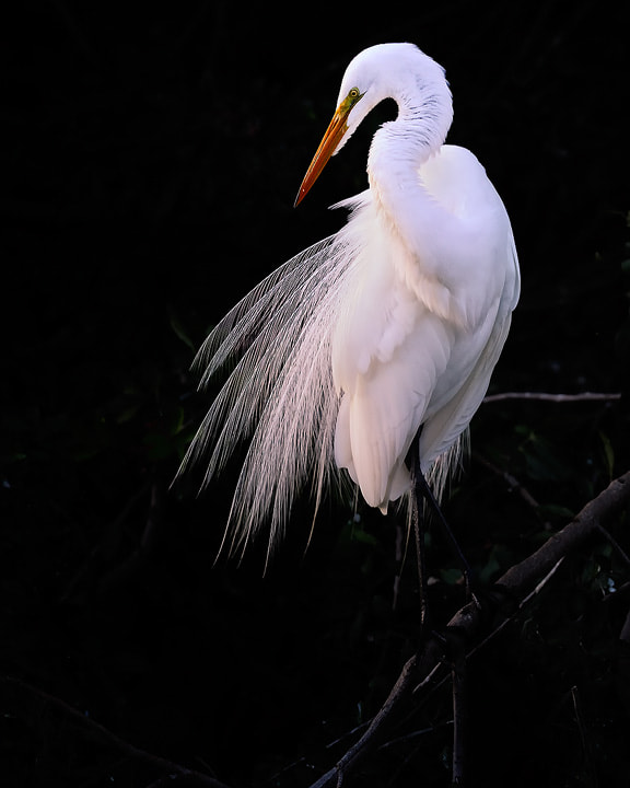 Photograph Elegant Egret by Steve Perry on 500px