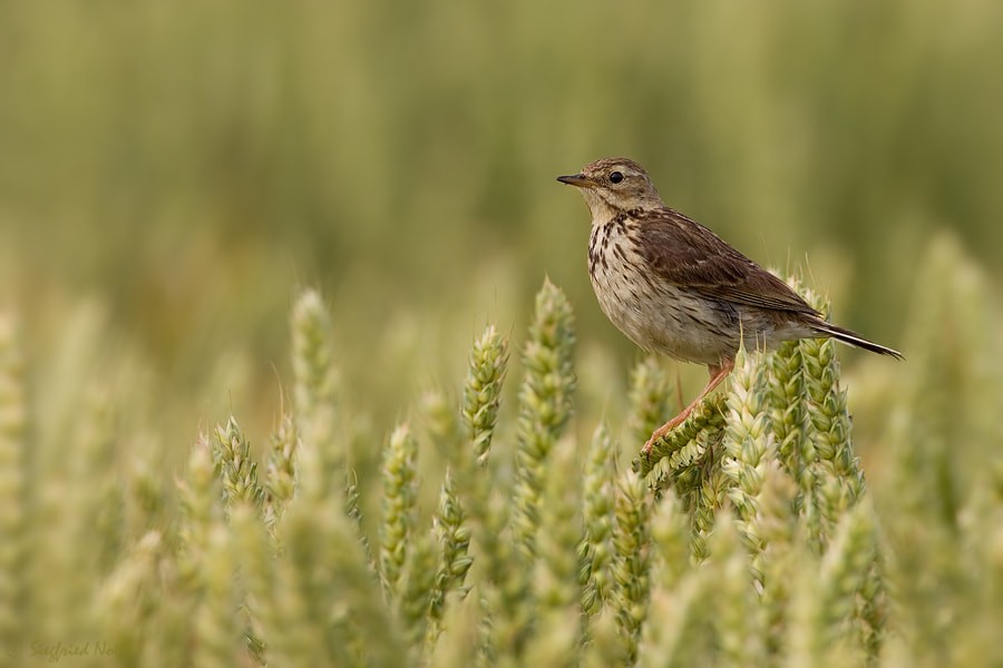 Photograph  Meadow Pipit by Siegfried Noët on 500px