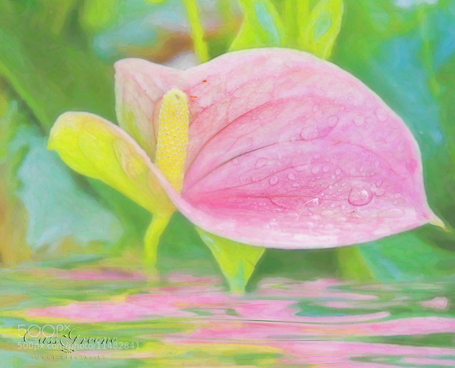 Photograph Reflecting Anthurium by Cass Peterson Greene on 500px