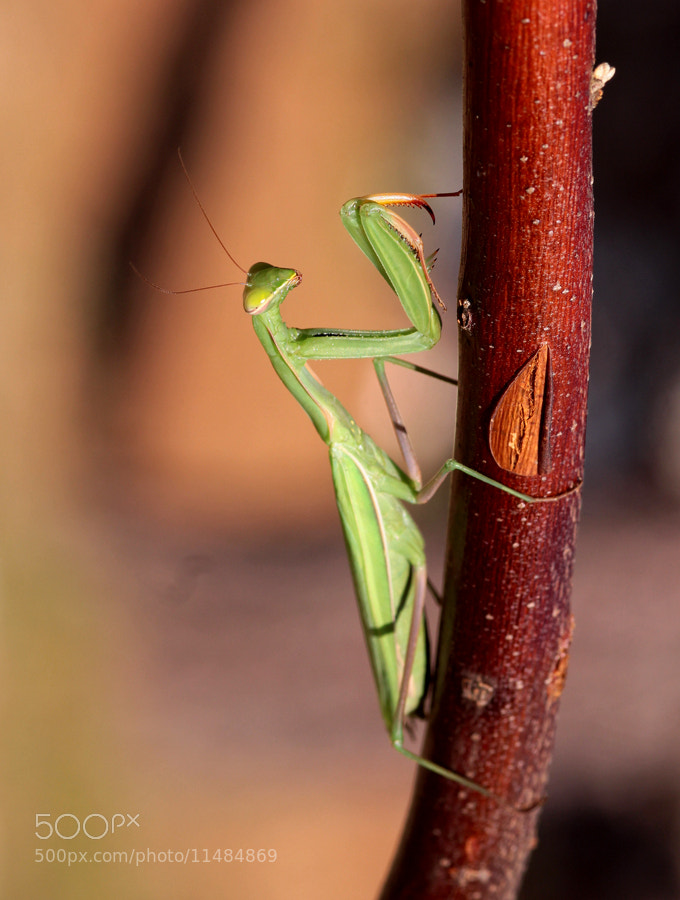Photograph Mantis by Necdet Yasar on 500px