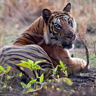 One of the most handsome male from Bandhavgarh clicked in 2009