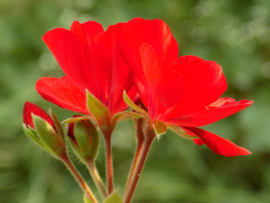 Photograph The Red Flames of Geranium by Vasile Guta-Ciucur on 500px