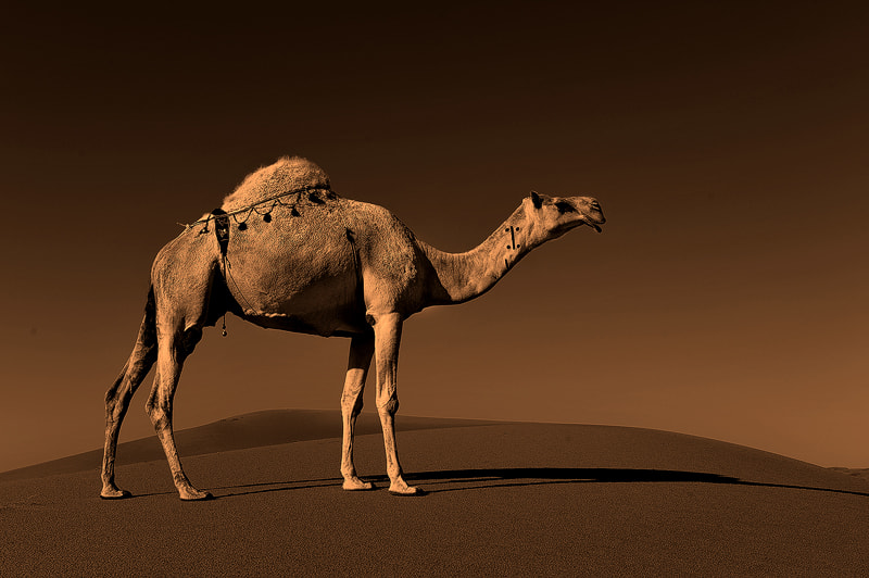 Photograph Ship of the desert by Nasser  AlOthman on 500px