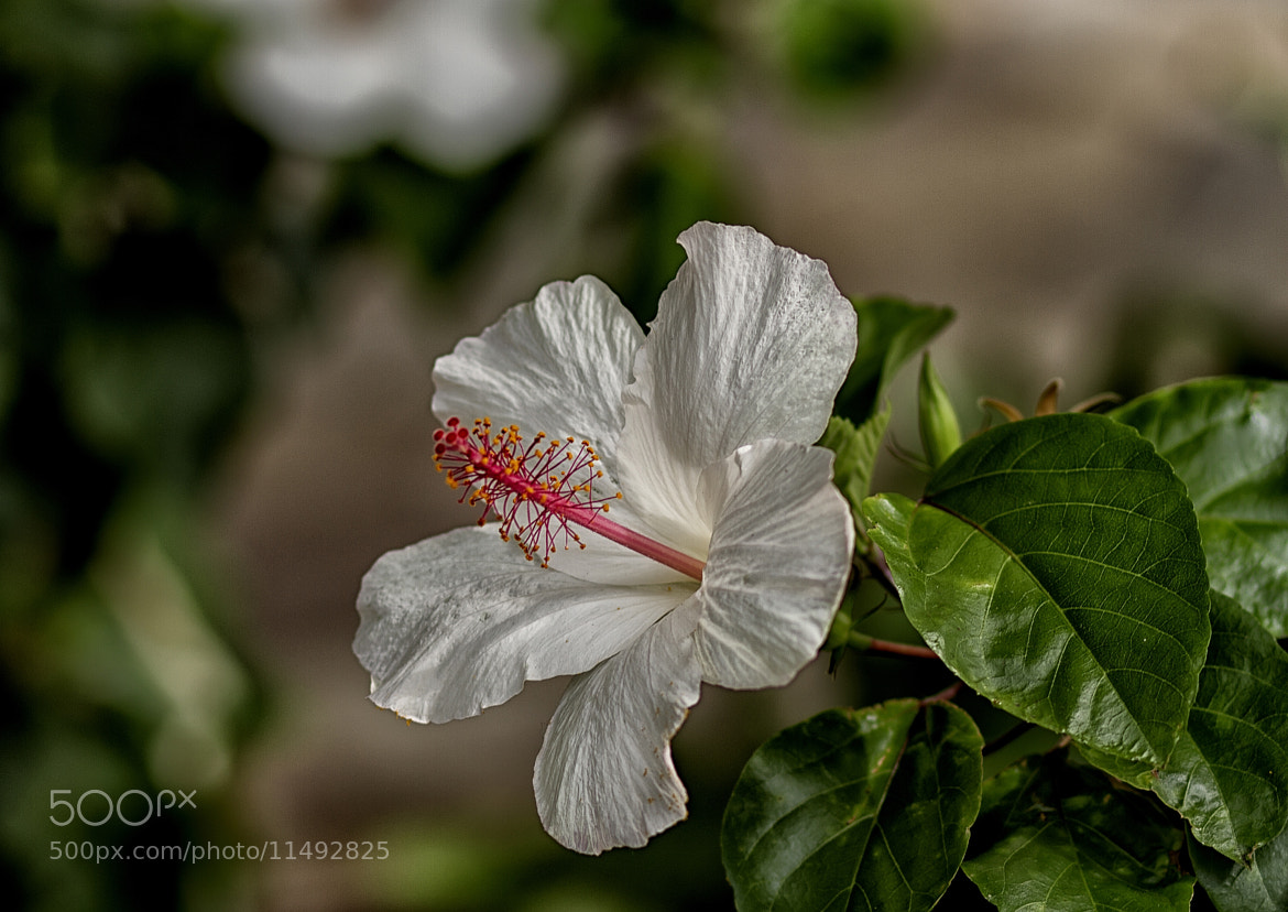 Photograph Hibiscus in Hawaii by Darren Sethe on 500px